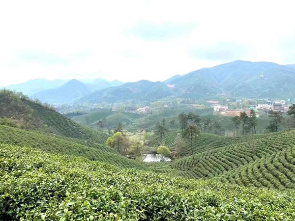 信阳市市场监管局加强规范引导全力助推茶产业复工复产