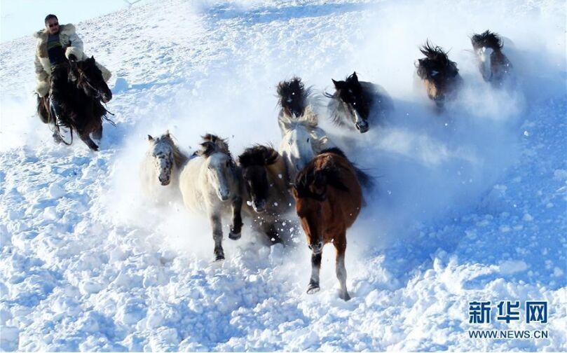 内蒙古锡林郭勒盟牧民驯马 扬鞭踏雪场面壮观