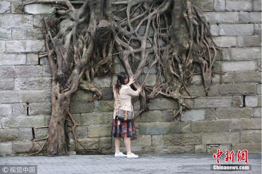 """重庆一石墙上现""""树坚强"""" 造型独特如艺术品"""