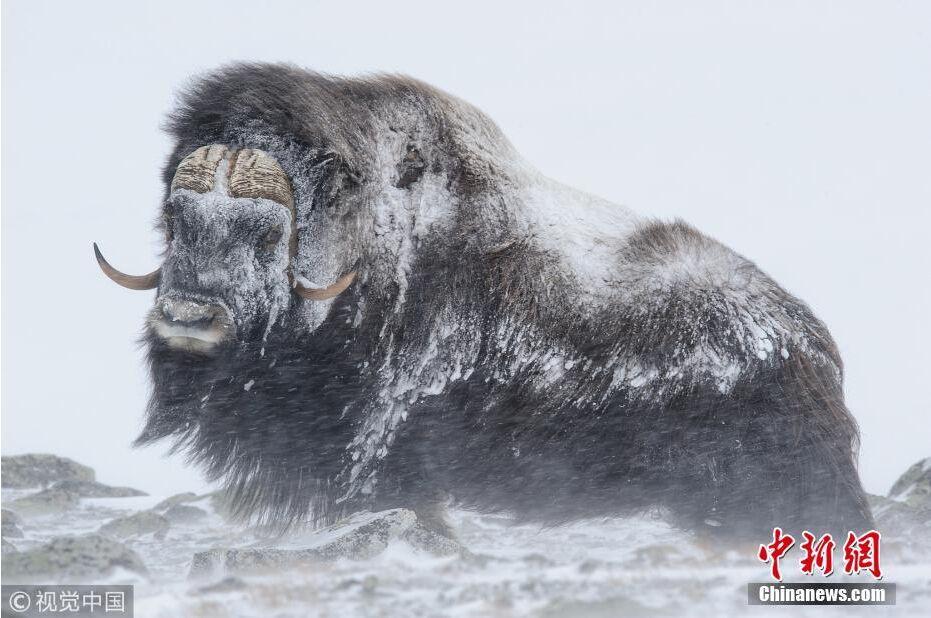 """暴风雪席卷挪威 硕大公牛脸被冻成""""冰坨"""""""